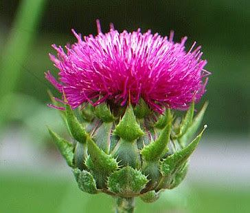 Milk Thistle for Liver Support and Weight Loss