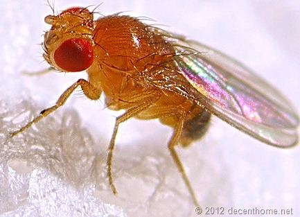 Fruit Flies Fed Organic Diets Are Healthier Than Flies Fed Nonorganic Diets